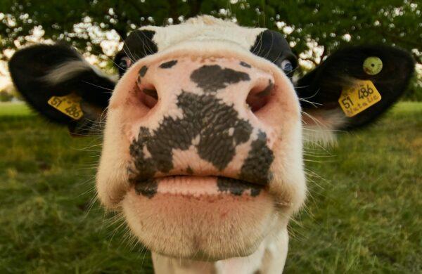 Eine Kuh, die ihren Kopf in Richtung der Kamera streckt