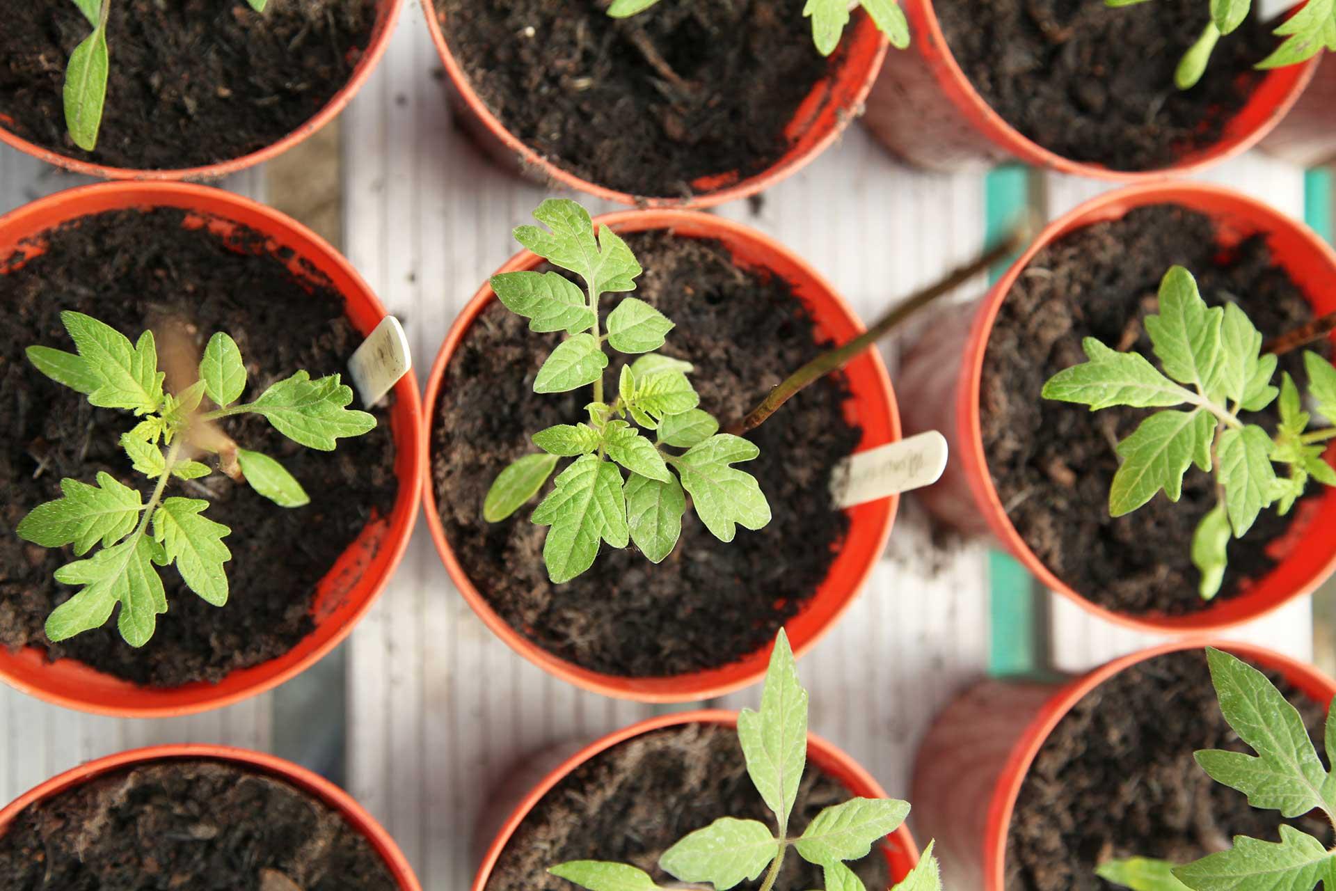 Kleine Tomatenpflanzen in Anzuchttöpfen