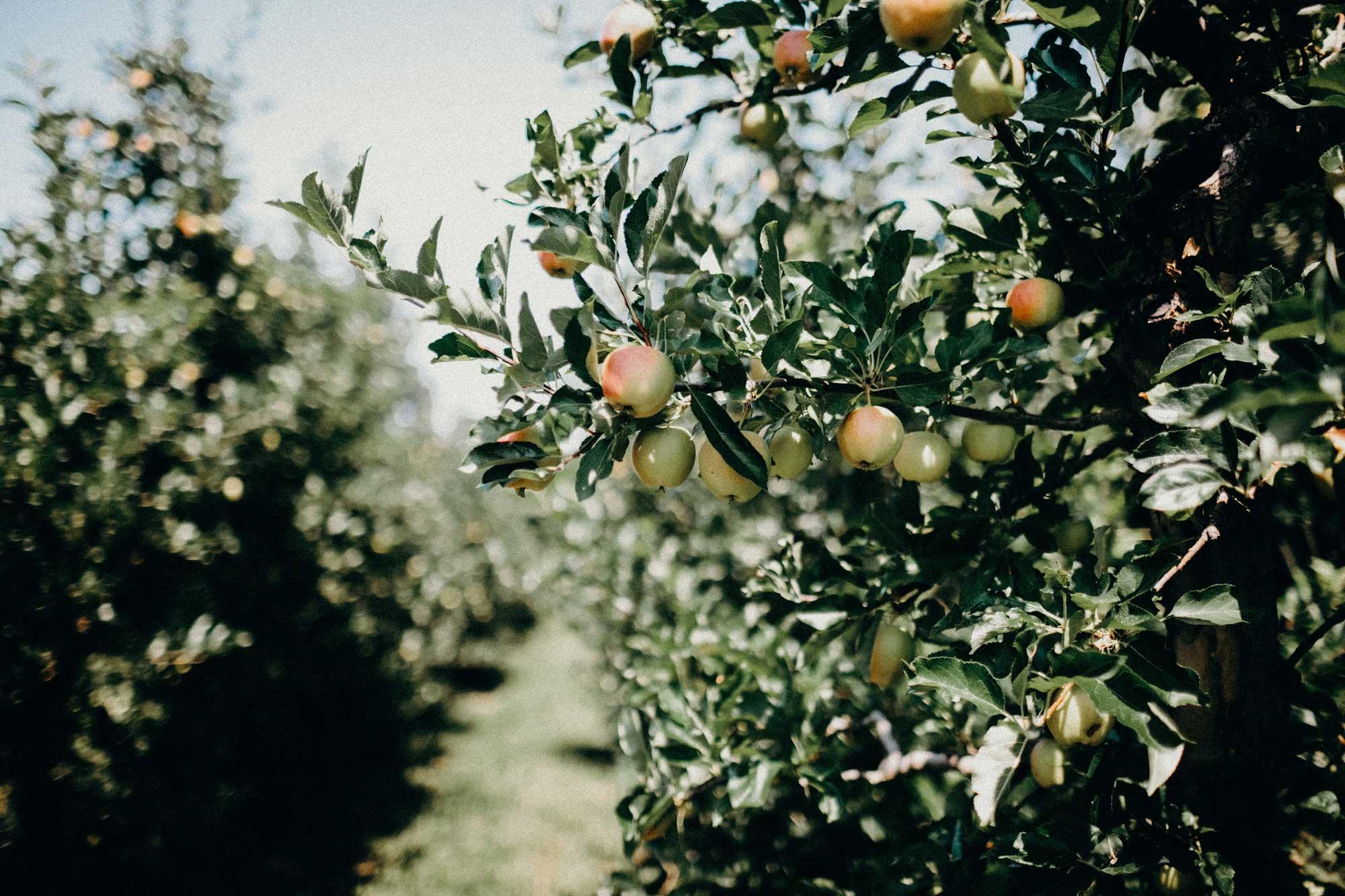 Apfelbaum auf einer Obstplantage